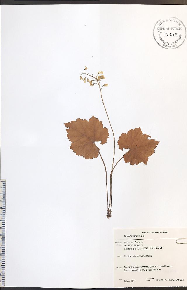 Image of Heartleaved foamflower