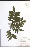 Image of northern mountain ash