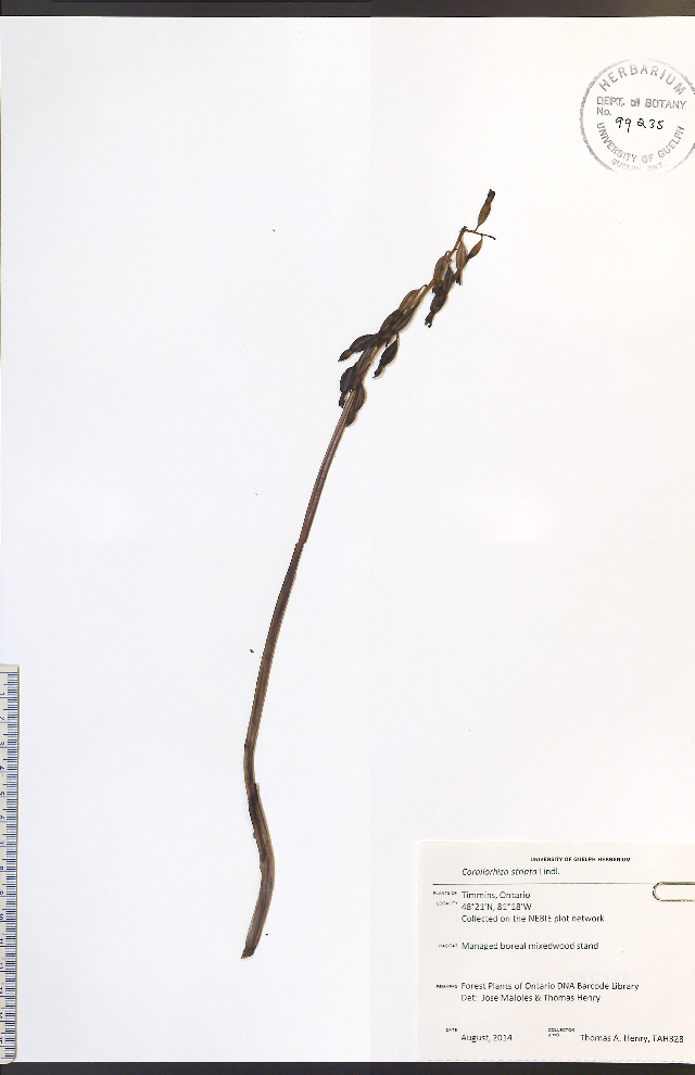 Image of Striped coralroot