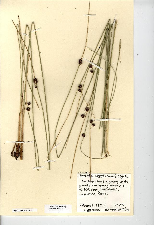 Image of bulrush