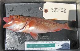 Image of Bocaccio rockfish