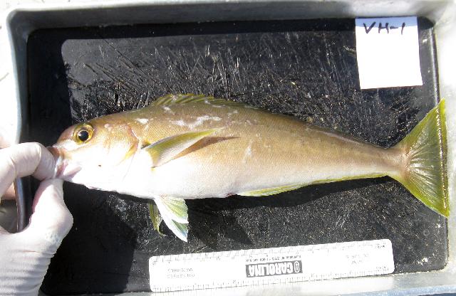 Image of Ocean whitefish