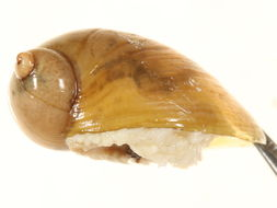 Image of Novisuccinea