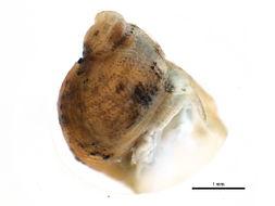 Image of <i>Catinella avara</i> (Say 1824)