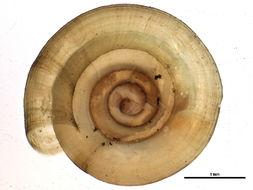 Image of <i>Helicodiscus shimeki</i> Hubricht 1962
