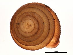 Image of <i>Strobilops labyrinthicus</i> (Say 1817)