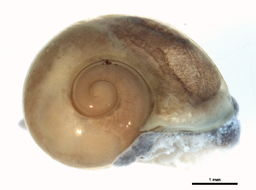 Image of <i>Vitrina angelicae</i> H. Beck 1837