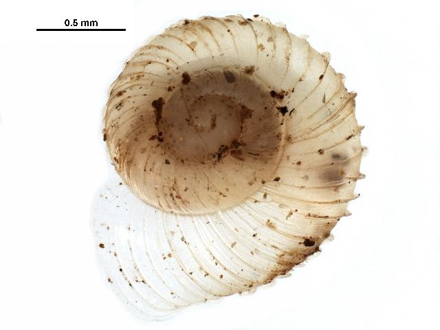 Image of <i>Vallonia parvula</i> Sterki 1893
