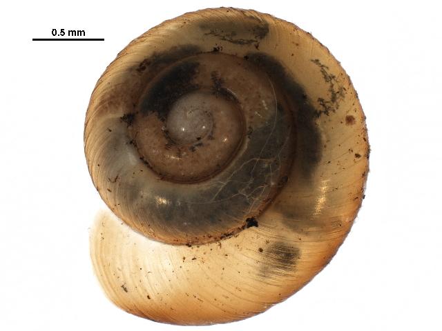 Image of Land snail