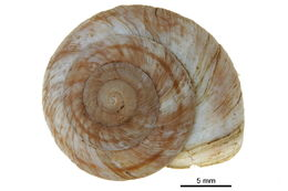 Image of Rocky mountainsnail