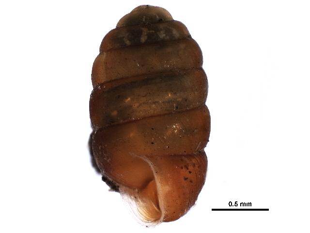 Image of <i>Pupilla hudsoniana</i> Nekola & Coles 2014