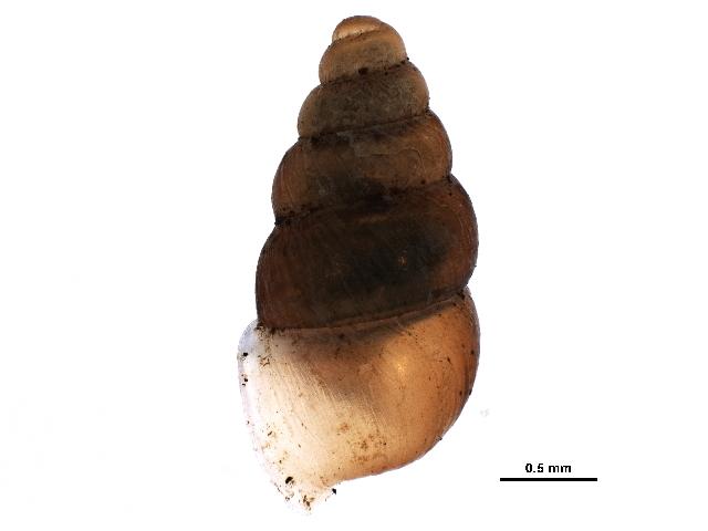 Image of white-lip dagger