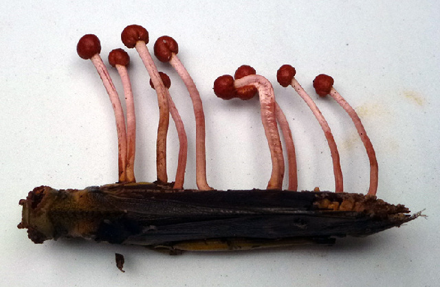 Image of Ophiocordyceps