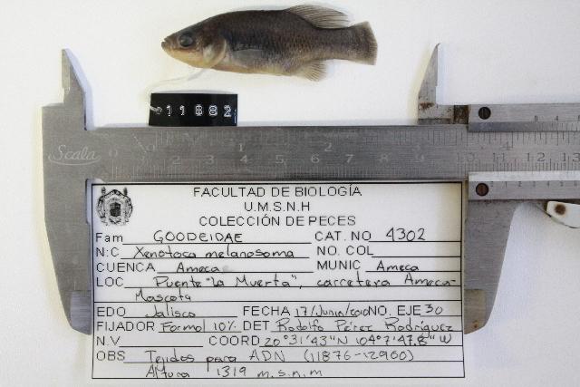539.fwfcm f11882 xenotoca melanosoma 1297445636 jpg
