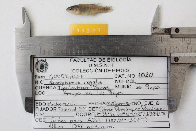 539.fwfcm f13227 neoophorus regalis 1296823318 jpg