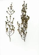 Image of Anthospermum