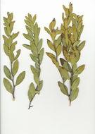 Image of Euclea