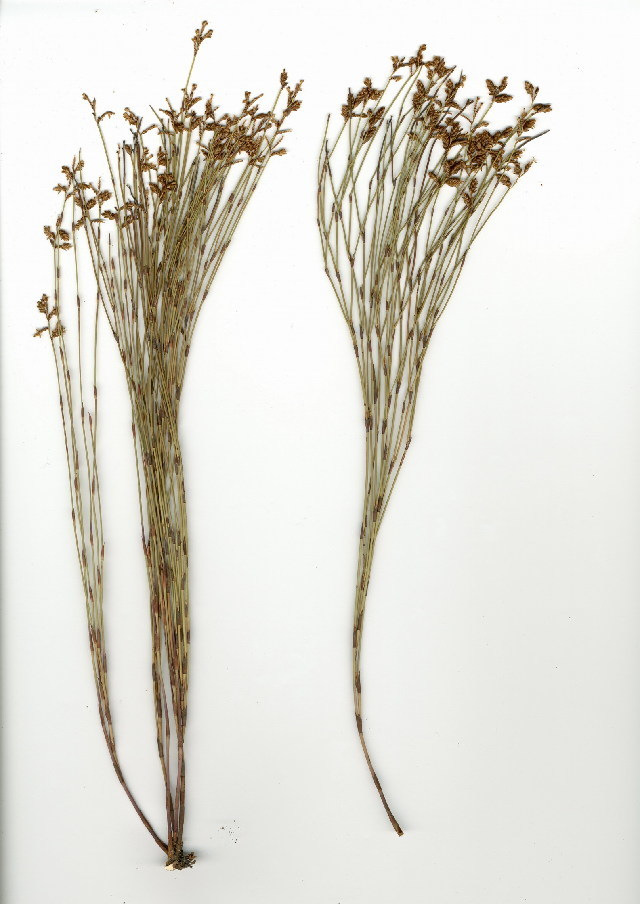 Image of Mastersiella