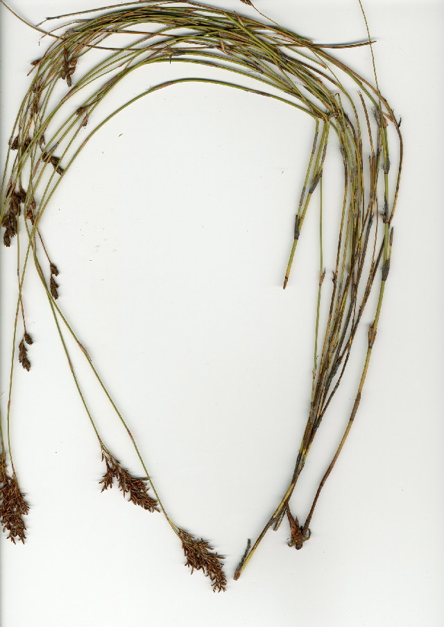 Image of reed