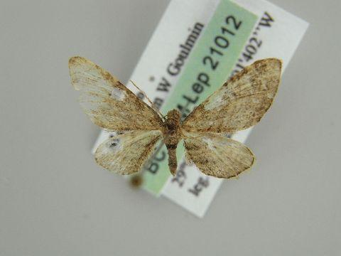 Image of <i>Eupithecia rhoisata</i> Chrétien 1917