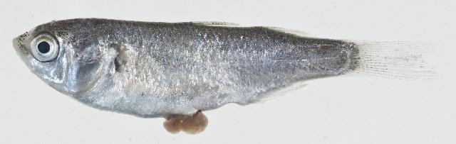 Image of Paramugil
