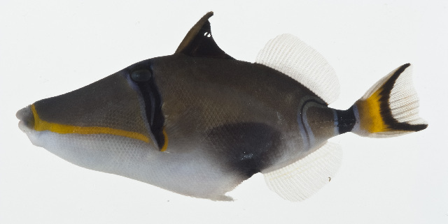 Image of Rhinecanthus