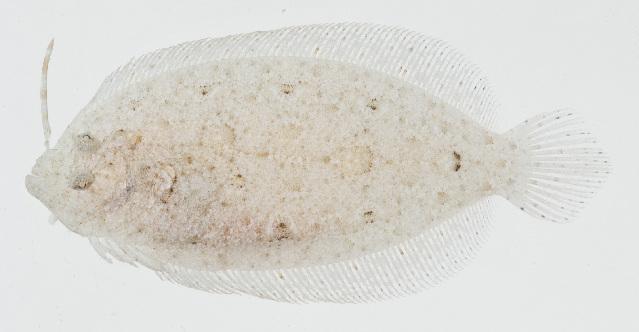 Image of Asterorhombus