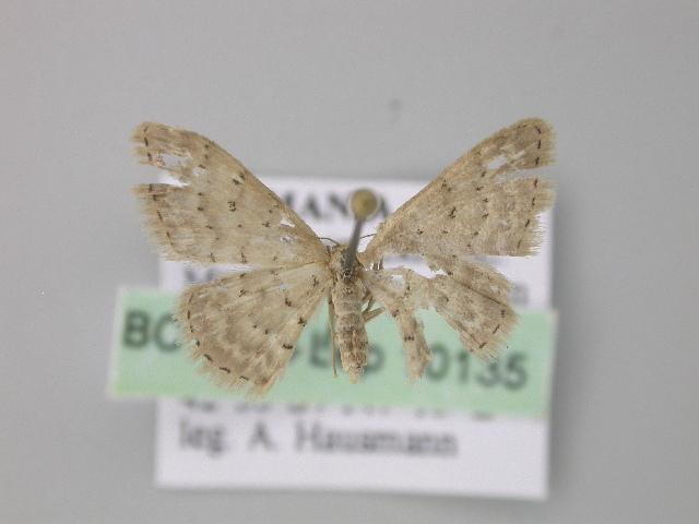 Image of <i>Idaea inversata</i> Guenée 1858