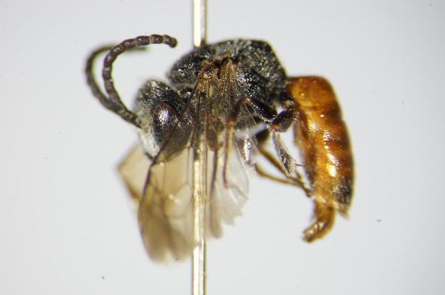 Image of <i>Sphecodes alternatus</i> Smith 1853