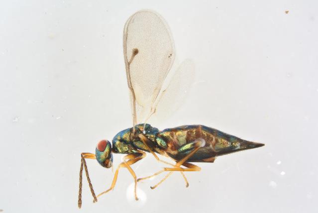 Image of <i>Dinotiscus eupterus</i> (Walker 1836)