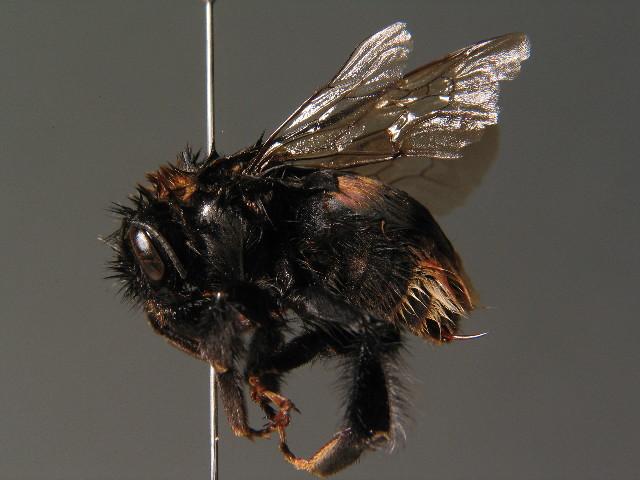 Image of Buff-tailed bumblebee