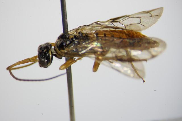 Image of <i>Cephalcia arentris</i>