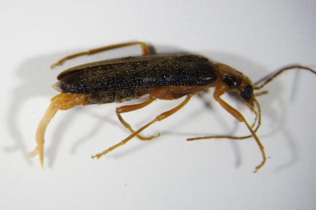 Image of <i>Nacerdes carniolica</i> (Gistl 1834) Gistl 1834