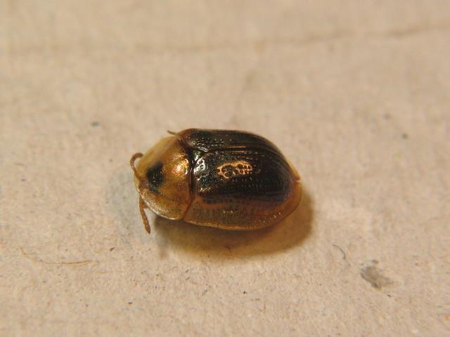 Image of <i>Cassida</i> (<i>Mionycha</i>) <i>azurea</i> Fabricius 1801