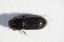 Image of <i>Pleurophorus caesus</i> (Panzer 1796)
