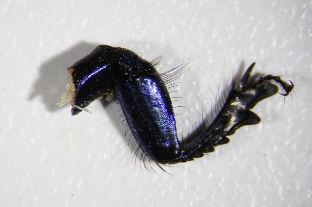 Image of <i>Trypocopris vernalis</i> (Linnaeus 1758)