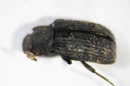 Image of <i>Bolitophagus reticulatus</i> (Linnaeus 1767) Linnaeus 1767