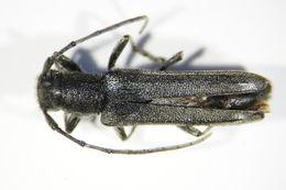 Image of <i>Phytoecia</i> (<i>Opsilia</i>) <i>coerulescens</i> (Scopoli 1763)