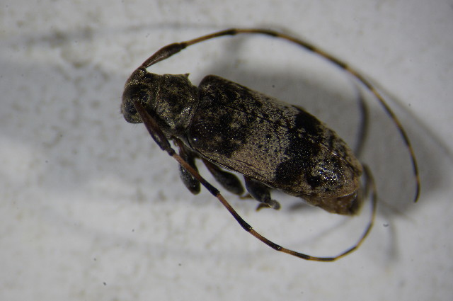 Image of <i>Leiopus linnei</i> Wallin, Nýlander & Kvamme 2009