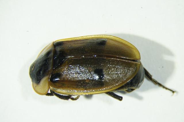Image of Dendroxena