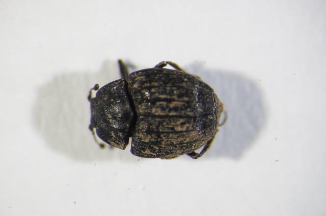 Image of Onthophilinae