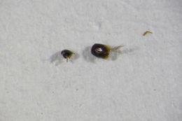 Image of Euryptilium