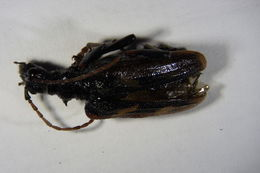 Image of Two-banded longhorn beetle