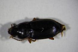 Image of <i><i>Trichotichnus</i></i> (Trichotichnus) <i>laevicollis</i> (Duftschmid 1812)