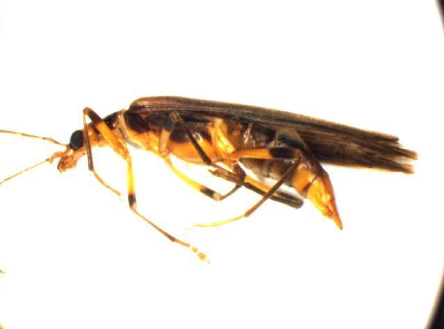Image of <i>Oedemera femoralis</i> Olivier 1803