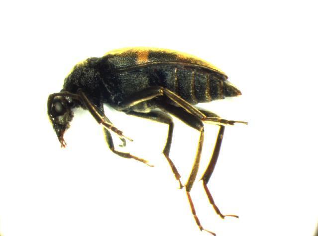 Image of <i>Pachytodes erraticus</i> (Dalman 1817)