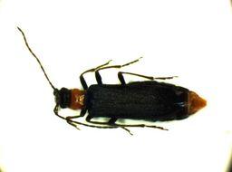Image of <i>Anogcodes seladonius</i> (Fabricius 1792) Fabricius 1792