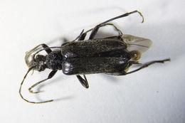 Image of <i>Acmaeops septentrionis</i> (C. G. Thomson 1866)