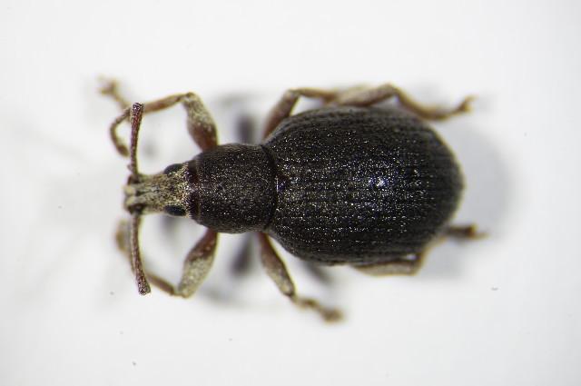 Image of <i>Peritelus sphaeroides</i> Germar 1824