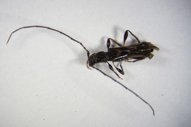 Image of <i>Molorchus umbellatarum</i> (Schreber 1759)